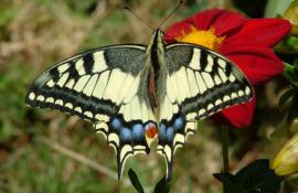 Depuis, mes ballades dans la campagne sont souvent accompagnées d'un papillon qui suit mes petits pas.