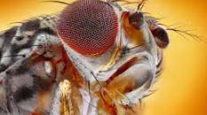 la mouche : cobaye de l'histoire