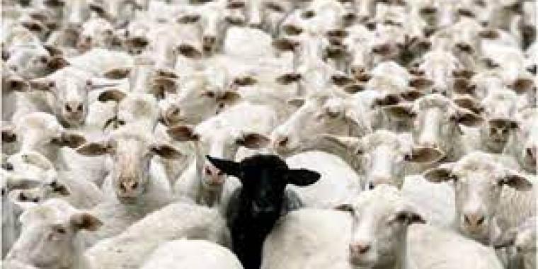 Que font ces moutons blancs ici ?